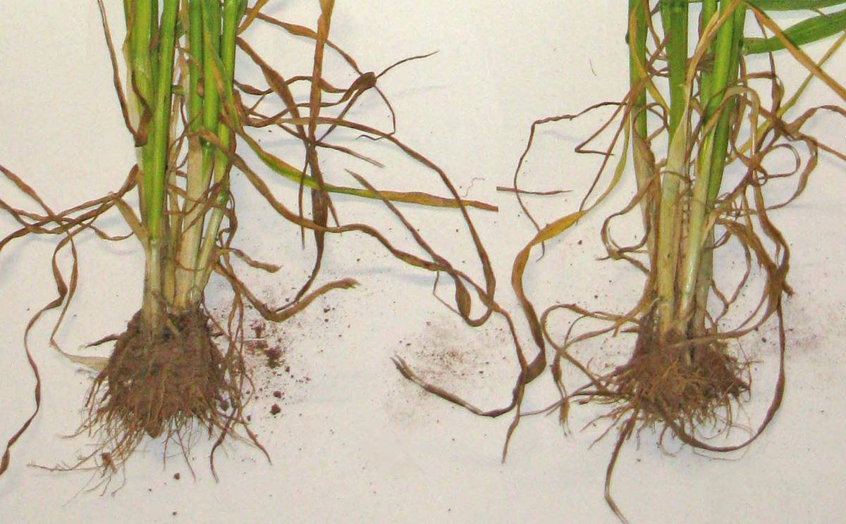roots stem comparison